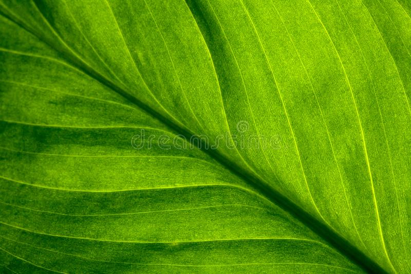 Abstract green striped nature background, vintage tone. green textured leaf of the plant. stock image