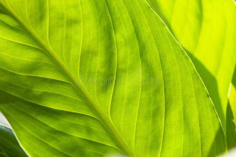 Abstract green striped nature background, vintage tone. green textured leaf of the plant. natural eco background stock photos