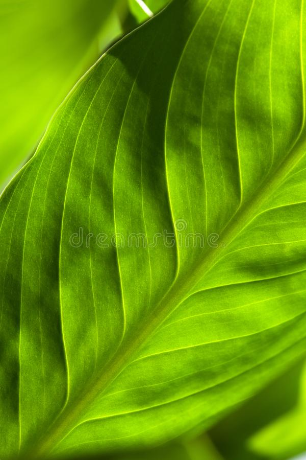 Abstract green striped nature background, vintage tone. green textured leaf of the plant. natural eco background stock photography