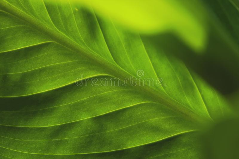 Abstract green striped nature background, vintage tone. green textured leaf of the plant. natural eco background royalty free stock images