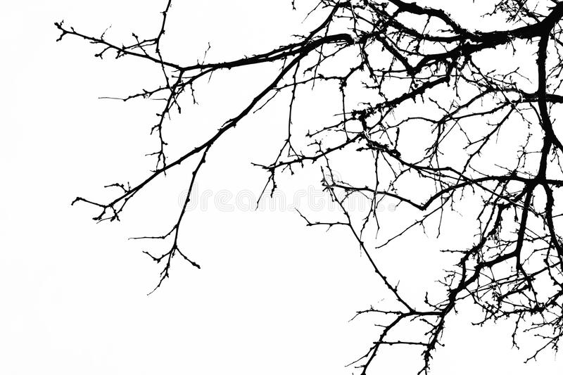 Abstract Halloween background. Black branch of tree on a white b. Ackground. Horror concept, halloween party,banners,cards,wallpaper. Copy space royalty free stock photo