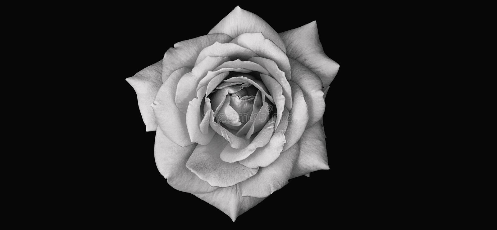 Abstract illustration of an isolated rose flower bloom top view. Black and white background  photo. Abstract illustration of an isolated rose flower bloom top royalty free illustration