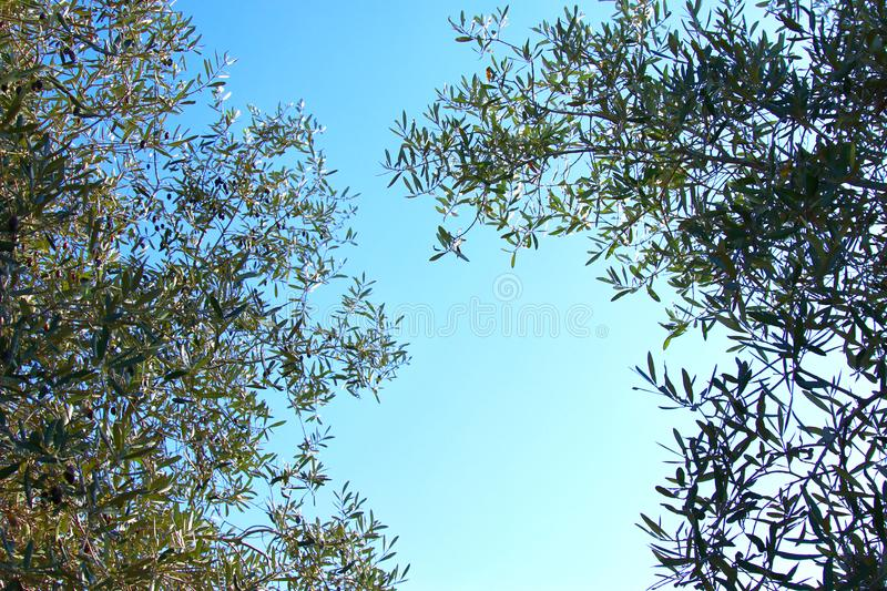 Abstract image of green Olives Tree tops. royalty free stock photo