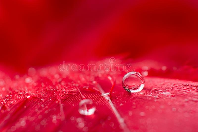 A abstract image of red color fluffy feathers with two macro water dew drop, beautiful natural background. stock images