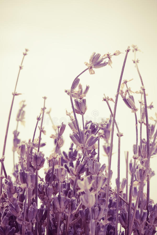 Download Abstract lavender stock image. Image of floral, space - 24610627