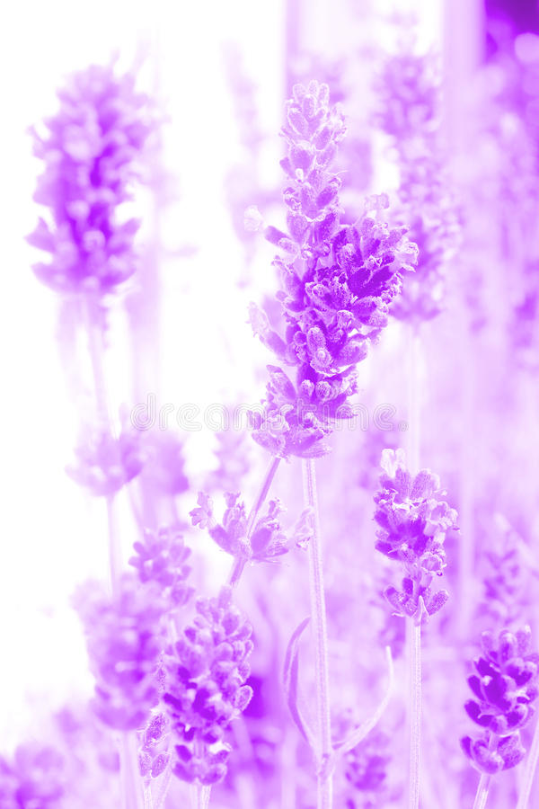 Download Abstract lavender flowers stock image. Image of flowers - 26522501