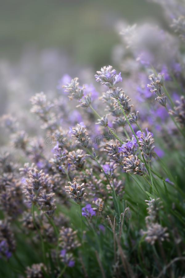 Abstract of Lavender Flowers in bloom royalty free stock image