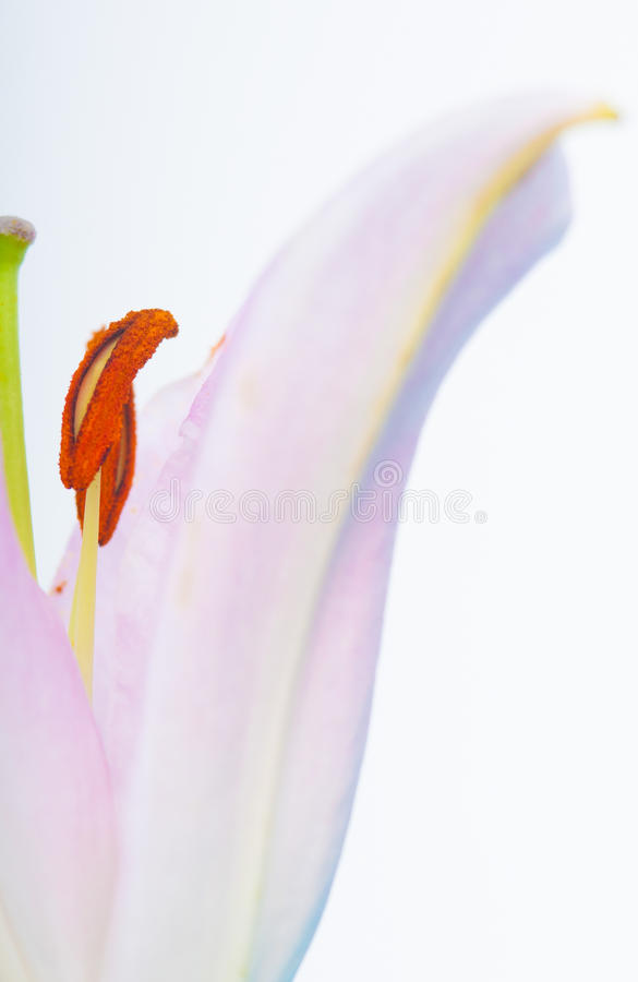 Download Abstract lily flower stock image. Image of detail, fragile - 30706445