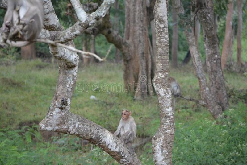 Abstract of little monkey sitting on tree. Abstract of view of cute little monkey sitting on atree branch in a indian forest royalty free stock photography