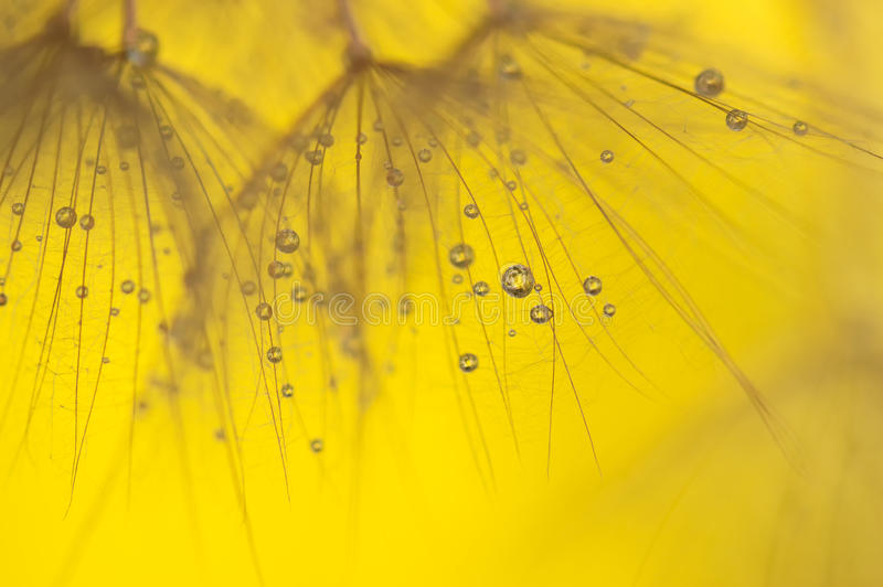 Abstract macro of dandelion with water drops. Gold drops on dandelion seeds. soft selective focus. royalty free stock images