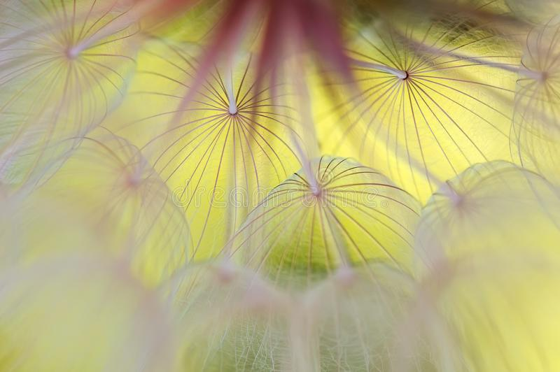 Abstract macro of a dandelion on a yellow background. Beautiful artistic image of a dandelion close-up. Selective soft focus.  stock photos
