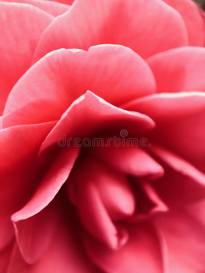 Abstract Macro of a Dark Pink Camellia Full frame Background. Can be used as a base map for graphic design stock photo