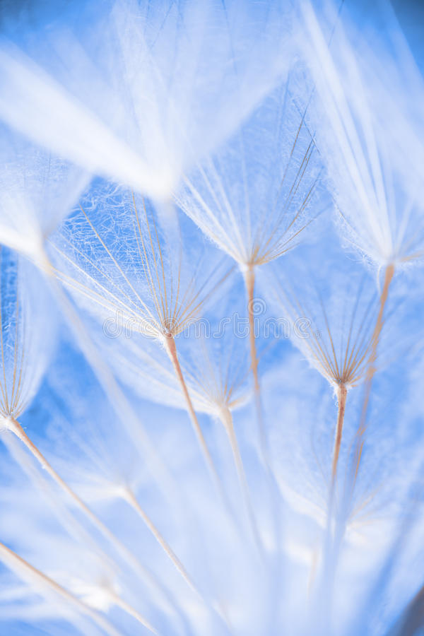 Abstract macro photo of plant seeds at a morning. Abstract macro photo of dandelion seeds. Shallow focus stock images