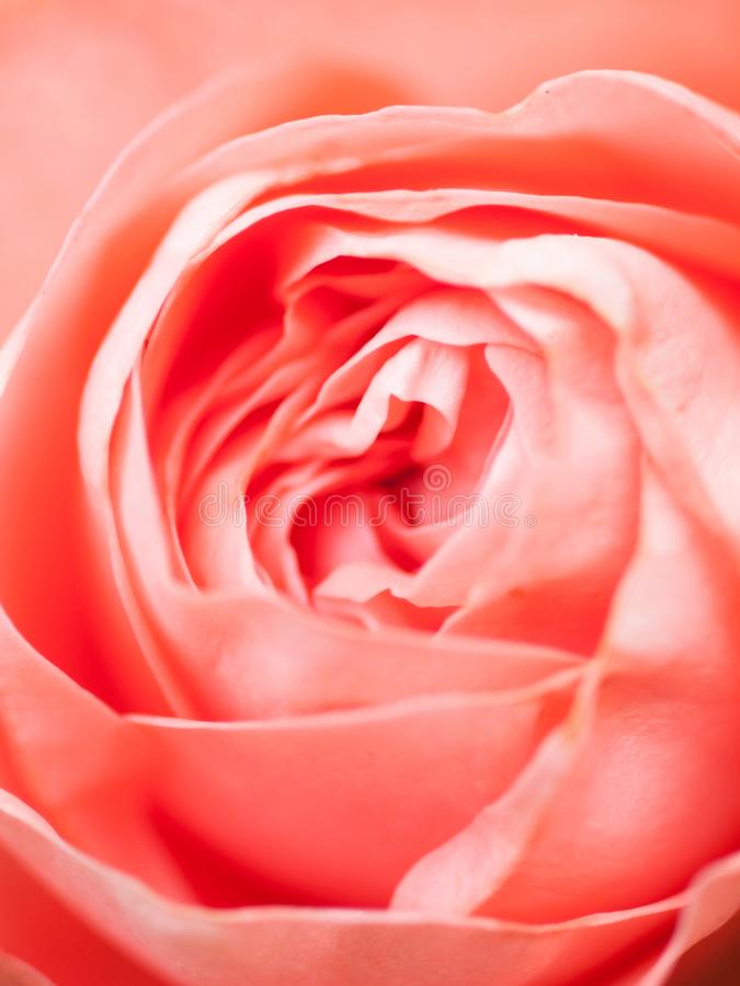 Abstract macro shot of beautiful pink rose flower.  Floral background with soft selective focus, shallow depth of field royalty free stock image