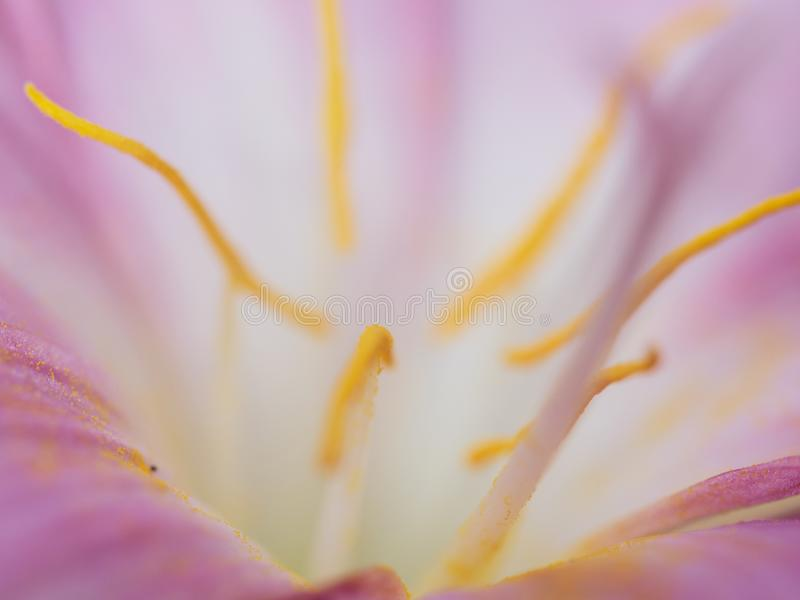Abstract macro yellow pollen and blurred soft focus of pink flower. Nature background stock images