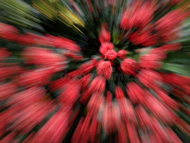 Abstract motion blurred red Ixora or spike flowers. Red bomb attack concept stock photos