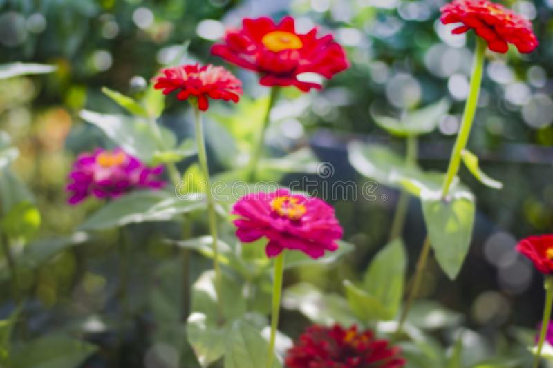 Abstract natural background with blurred flowers of zinnia in the garden stock photography