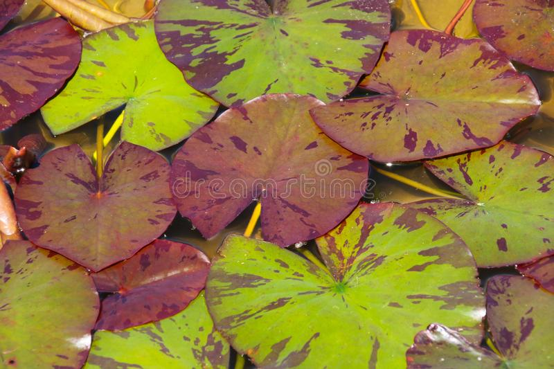 Close up water lily leaves in the summer sunshine royalty free stock photos