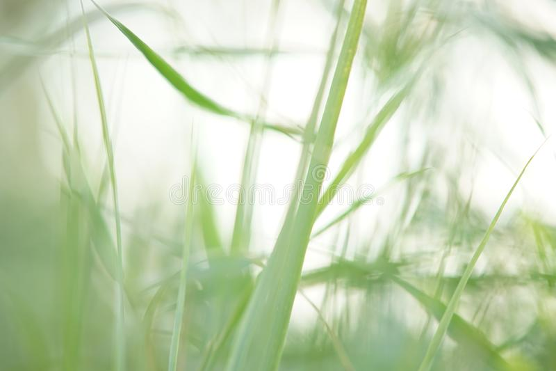 Abstract natural background with fresh green tall grass close-up. And white sky, soft selective focus royalty free stock images