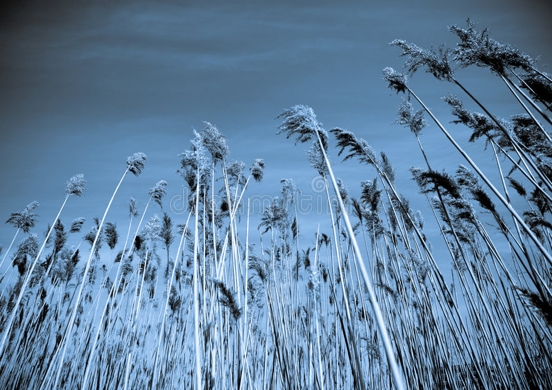 Abstract nature. Beautiful abstract natural scene sky and tall grass royalty free stock photo
