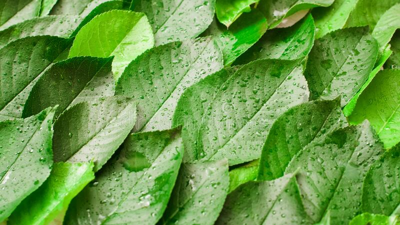 Abstract nature background green leaves dew drops stock images