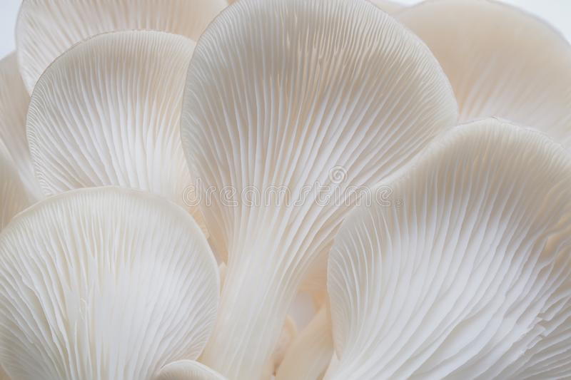 Abstract nature background macro of Sajor-caju Mushroom plants. Using idea design texture pattern concept natural or wallpaper royalty free stock photography