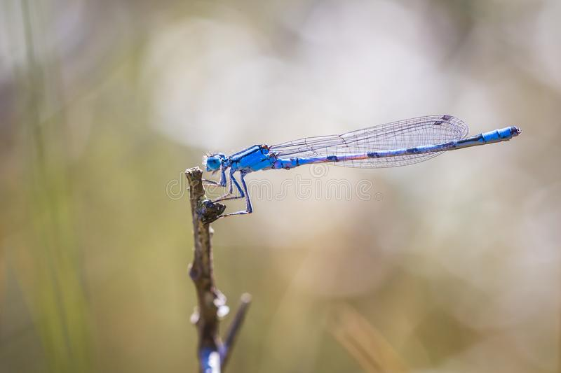 Abstract nature Enallagma cyathigerum, common blue damselfly, co royalty free stock images