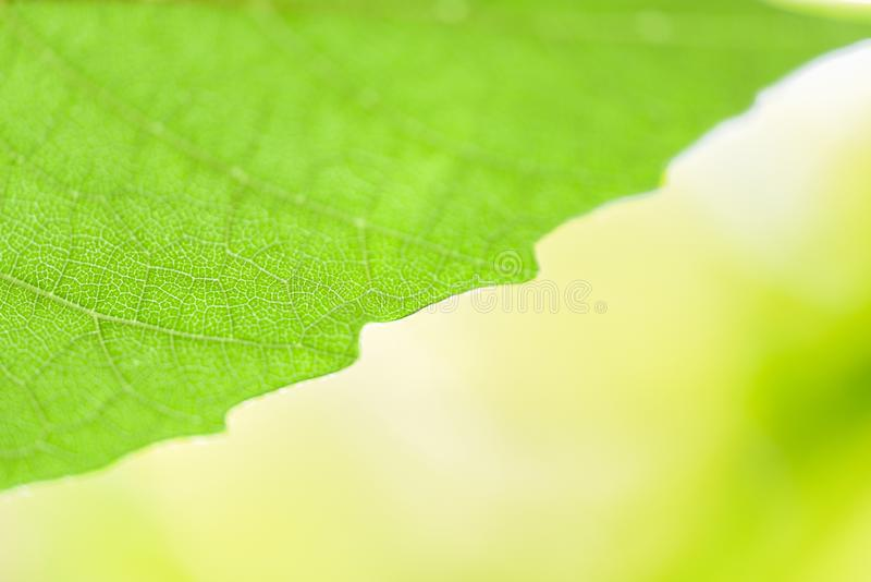 Abstract nature green leaf on tree beautiful sunlight soft focus and green blur background / Close up leaves in summer garden stock images