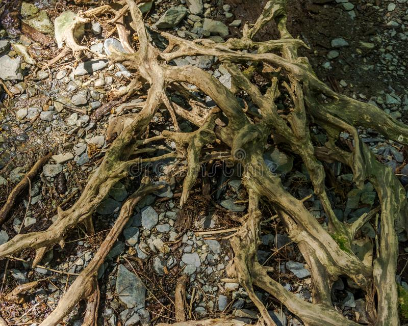 Abstract old tree roots in the forest abstract background. Abstract old tree roots in the forest abstract background royalty free stock image