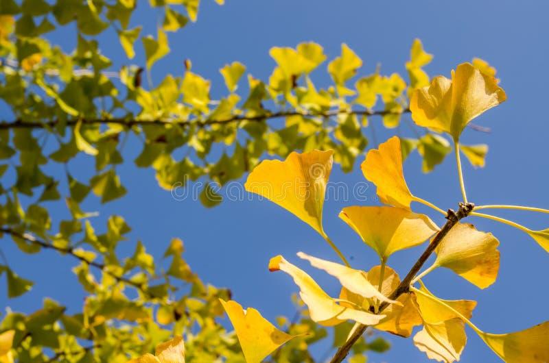 Abstract onduidelijk beeld van de gele bladeren van biloba ` van ` Ginkgo en blauwe hemelachtergrond stock fotografie