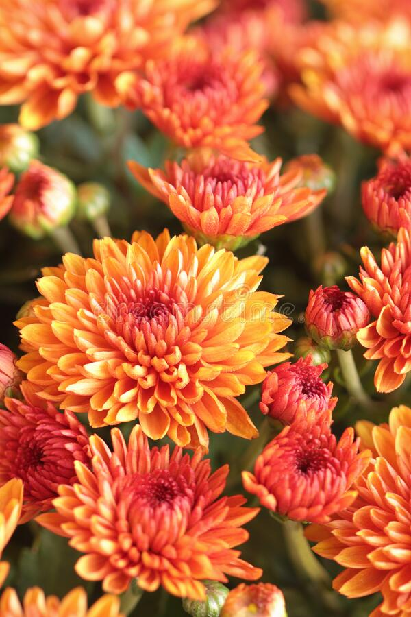Abstract of Orange Chrysanthemums with Blurred Background stock photo