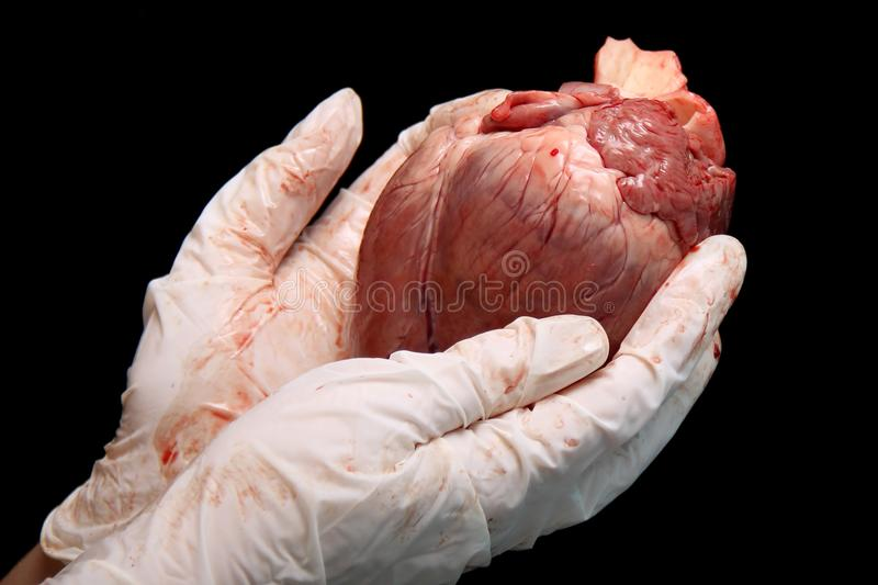 Abstract organ transplantation. A human heart in woman`s hand. Saving lives hopelessly sick. Complex surgical operations. Interna royalty free stock photo