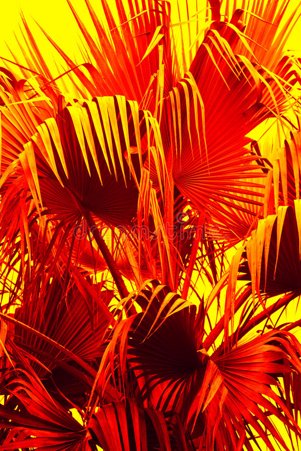 Abstract palmetto leaves in dramatic false colors from Florida. Abstract, drooping, red leaf tips of a south Florida palmetto have a dramatically exotic, alien stock image