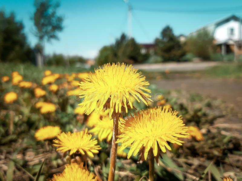 Macro photography of yellow dandelions, summer cottage royalty free stock photography