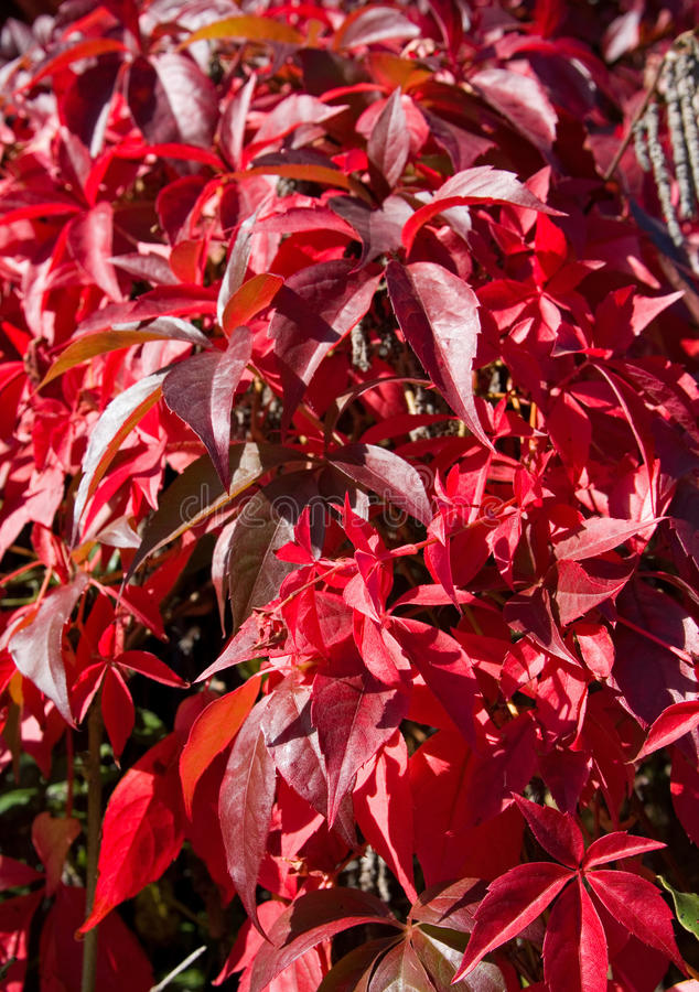 Abstract photo of red Virginia Creeper leaves