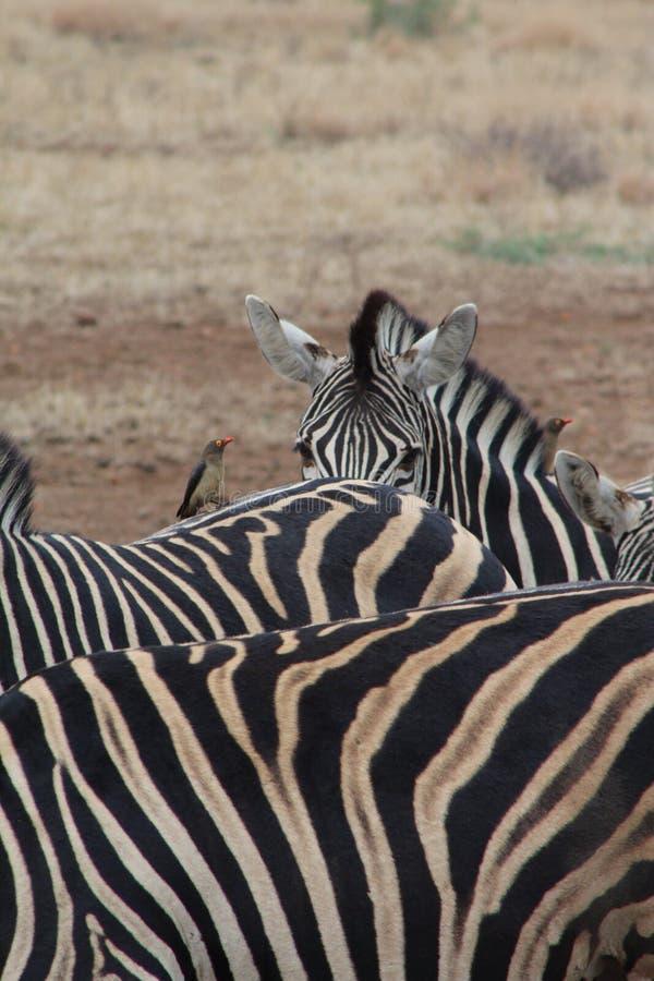 Abstract photo of three zebra royalty free stock photos