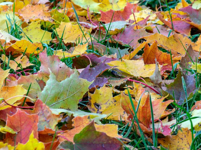 Abstract picture with colorful maple leaves. Suitable for backgrounds royalty free stock photo