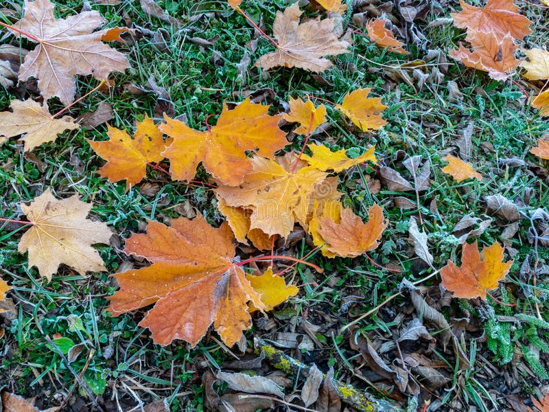 Abstract picture with colorful maple leaves. Suitable for backgrounds royalty free stock photography