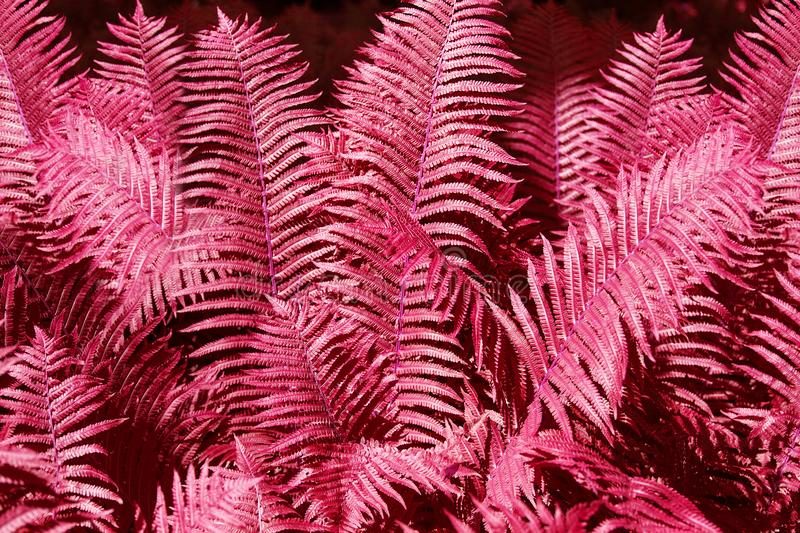 Abstract pink fern leaves background close up, fantastic red color bracken foliage texture, decorative purple tropical frond leaf royalty free stock photography
