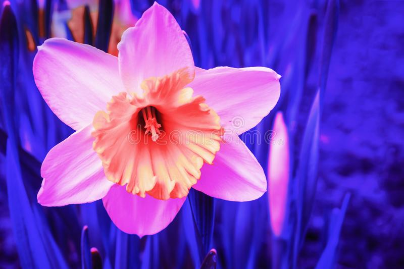 Abstract pink Narcissus flower in blue neon light.  royalty free stock images