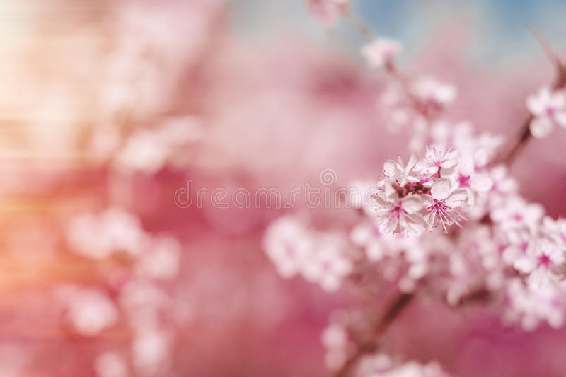 Abstract pink spring background with cherry sakura blooms, early stock photography