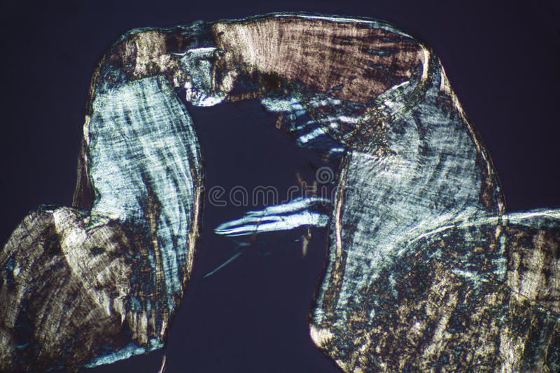 Abstract, polarizing micrograph of the mating sheath from an ear stock images