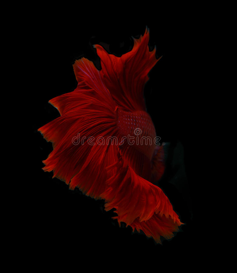 Abstract red fin siamese fighting fish isolated on black background. royalty free stock photography