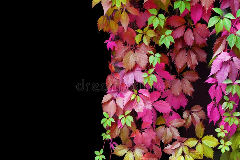 Abstract red, pink, green, purple, yellow girlish grape leaves decorative pattern on black background isolated close up copy space royalty free stock image