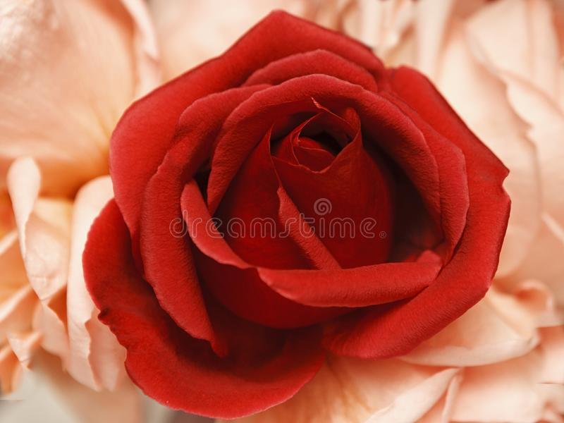 Abstract red rose on a pink stock photography