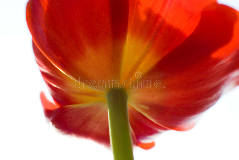 Abstract Red tulip stock photography