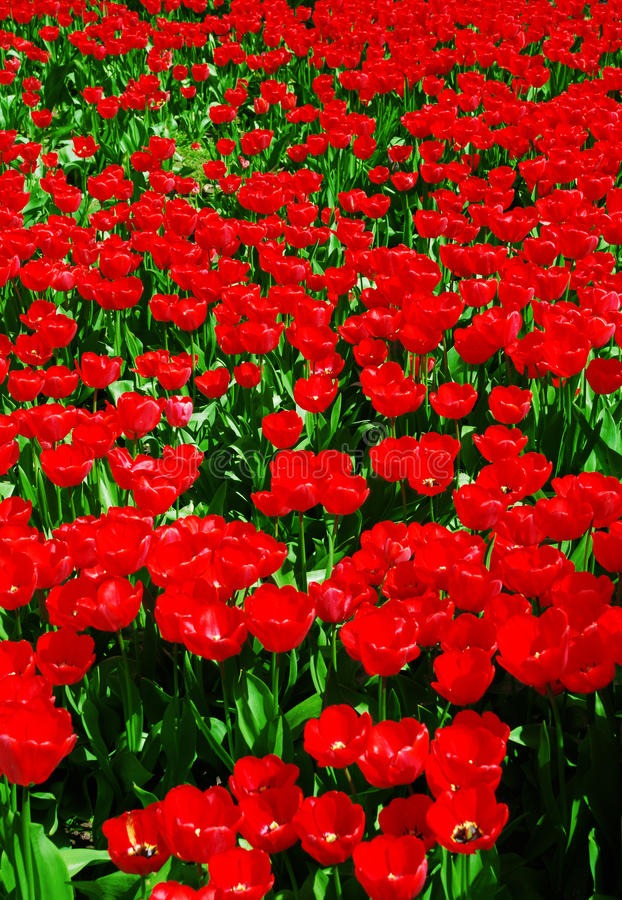 Abstract red tulips field background. Abstract red tulips rural field background stock image