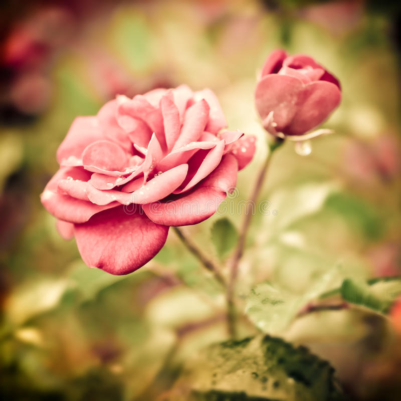 Abstract romantic pink roses flowers stock photo