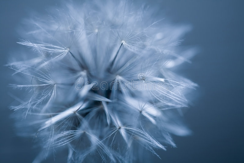 Abstract seed ball. Dandelion seed ball on blue background royalty free stock photography