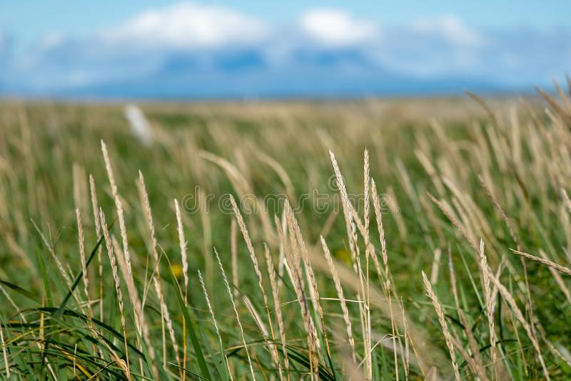 Abstract selective focus photo of grasses and reeds. Blue sky. Abstract selective focus photo of grasses and reeds on Katmai National Park in Alaska. Useful for royalty free stock image
